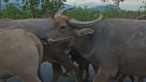 Shepherd Drives Herd of Buffaloes along Road against Countryscape Footage