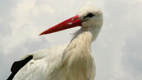 Stork close up shot, orange beak, white fur on wind Footage