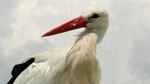 Stork close up shot, orange beak, white fur on wind Footage
