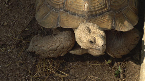 Big old turtle close-up. The turtle sits in place. Ancient animal in Africa Live Action