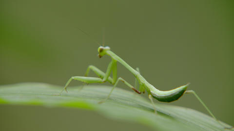 Macro close up of green grasshopper sitting on green leaf in forest Live Action