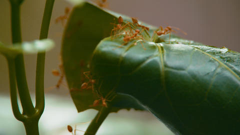 Ant home nests build from leaf on tree Live Action