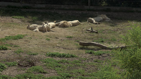 White lion cubs play with a lioness. Lions are sleeping. Lions in the african Live Action