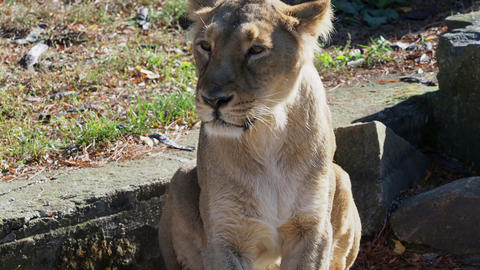 Asiatic lioness (Panthera leo persica) Live Action