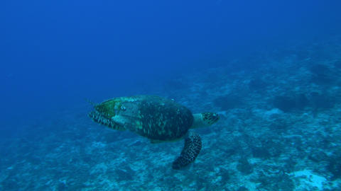 Underwater turtle swims in a blue sea near mexico Footage