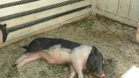 Pig on the farm Live Action