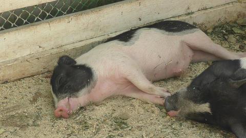 Pig on the farm Footage