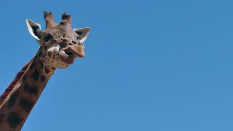Giraffe African Wildlife Wild Animal In Zoo Zoological Gardens Footage