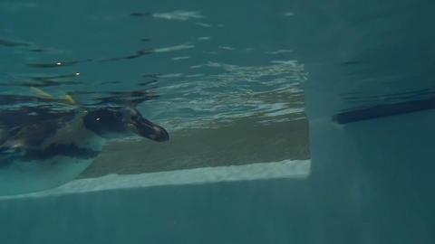 Humboldt penguin underwater Footage
