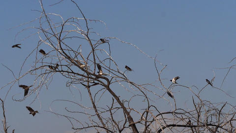 Barn Swallow, hirundo rustica, Group in Flight, taking off from tree, Baringo lake in Kenya, Slow Live Action
