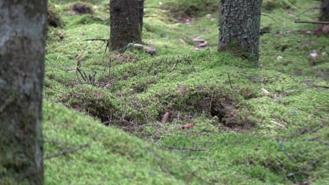 Green moss carpet in wild fir forest and tree trunks Live Action