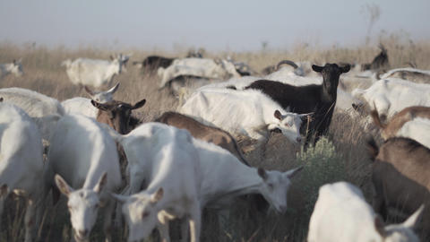 Herd of goats on nature pasture. Wildlife and ecology Live Action