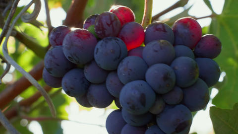 Closeup of grape bunch with sunbeams on berries in vineyard Live Action