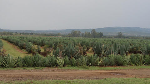 Village on the Road from Nairobi to Tsavo Park,Field of Agaves, Kenya, Slow Motion Live Action