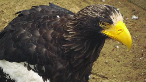 Steller's sea eagle Footage