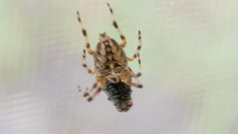 Cross Spider Araneus Diadematus And Fly Stock Video Footage