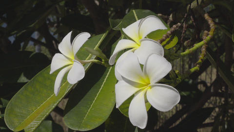 White Frangipani Flower At Full Bloom During Summer Footage