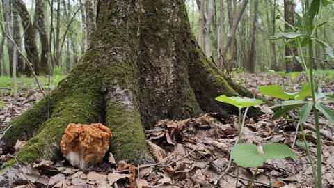 Spring mushroom morel under tree covered with moss in the spring forest Live Action