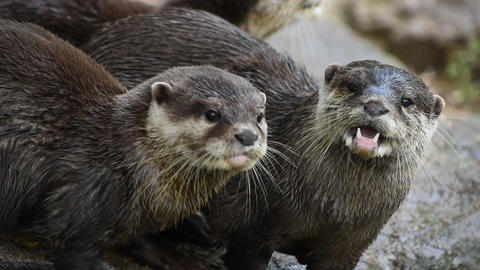 Several river otters run and scream on rocks Live Action