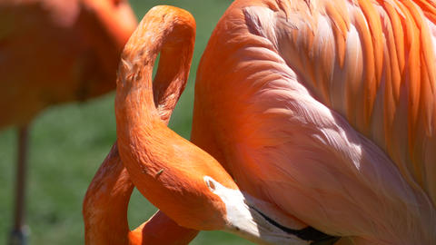 Closeup of flamingo cleaning feathers Footage