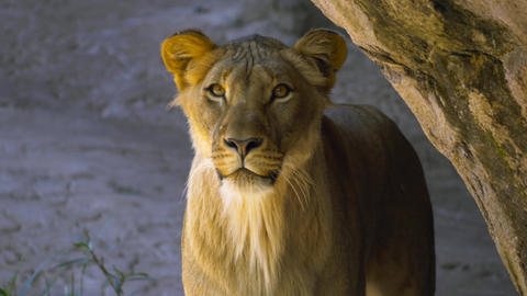 Young male lion emerges from behind rock and stares into camera Footage