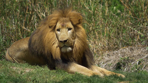 Adult male lion gets up and begins stalk Footage