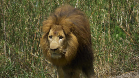 Adult male lion gets up and begins stalk Stock Video Footage