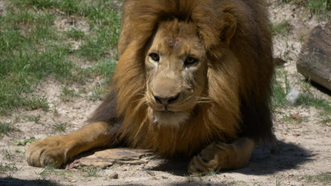 Adult male lion eating meat being tossed to him Footage