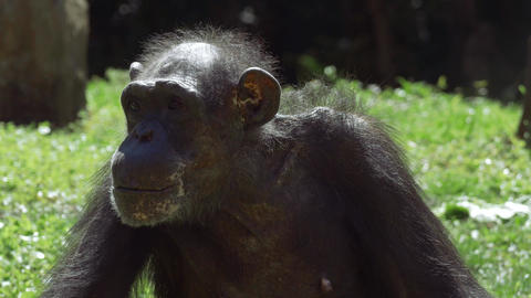 Chimpanzee looks around before staring into camera Footage