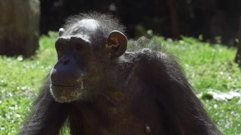 Chimpanzee looks around before staring into camera Footage