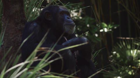 Chimpanzee gets up and walks with others Footage