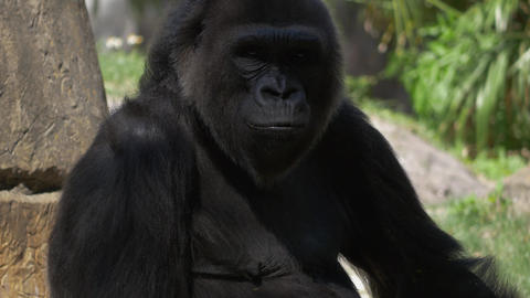 Male Gorilla looks into camera before grabbing a branch and walking away Live Action