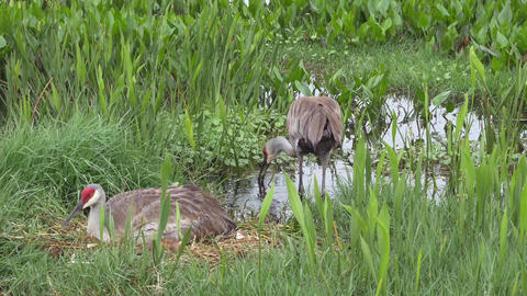 Male Sandhill Crane Rebuilds Nest While Mother Lays With Her Newborn Chicks, 4K Footage
