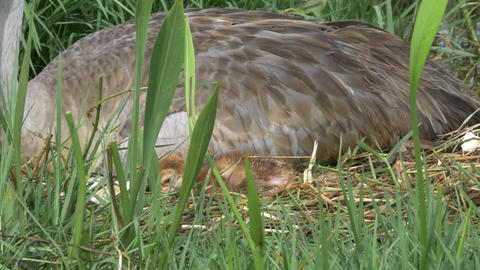 Newborn Sandhill Crane Falls Asleep Next to Mother, 4K Footage