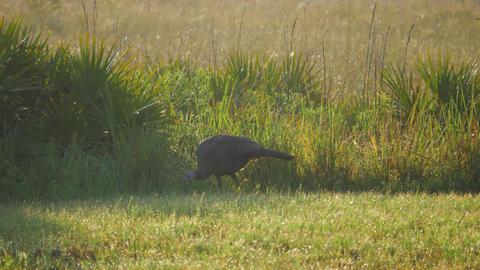 Wild Florida Turkey Walks Along Field, 4K Footage
