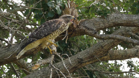 Hawk Stands on One Leg in Tree Then Climbs Branch, 4K Footage