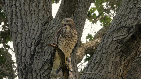 Red-Shouldered Hawk Shrieks from Tree Branch Before Flying Off Branch Live Action