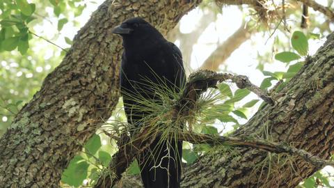 Crow, Raven, Blackbird in Tree, 4K Footage