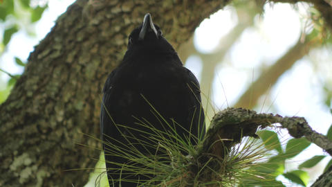 Low Angle of Crow, Raven, Blackbird in Tree, 4K Footage