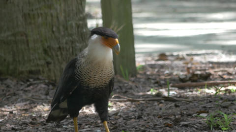 Crested Caracara Walks on the Ground Looking for Food, 4K Footage