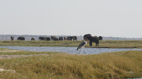 Elephant and marabou stork in Chobe National Park Footage