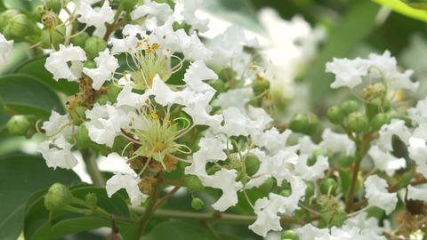 Closeup of White Crepe Myrtle Blossoms Footage