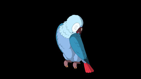 Blue Parrot Cleans Feathers. Classic Disney Style Animation with Alpha Channel Animation