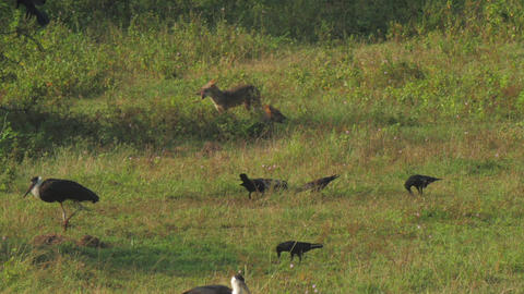 hyenas hunt for birds hiding in high green grass on meadow Live Action