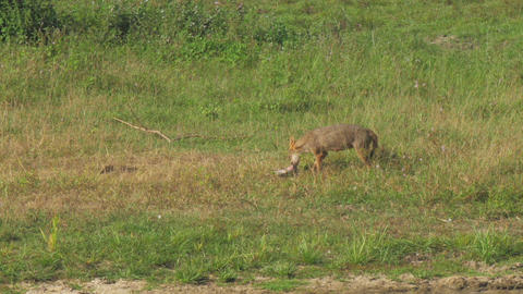 hungry hyena drags prey along green and brown meadow Live Action