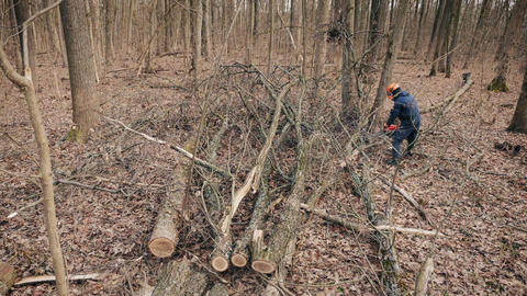 A man cuts up fallen dead trees in thick forest for firewood 실사 촬영