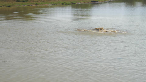 hungry crocodile catches bird on lake water surface Live Action