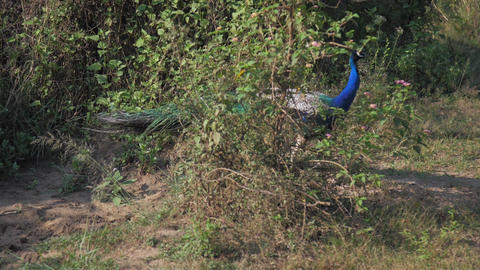elegant peacock with large tail eats and looks around Live Action