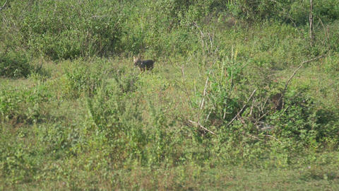 hyena runs along green meadow with small trees slow Live Action