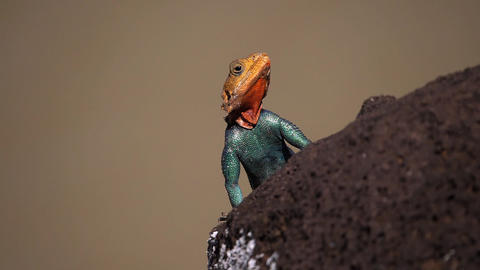 Red-headed Rock Agama, agama agama, Male standing on Rock, Baringo Lake in Kenya, Slow motion Live Action